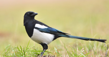 Magpie bird on the grass