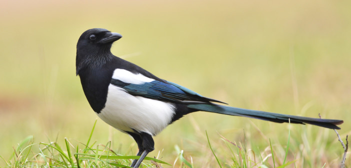 Magpie bird on the grass